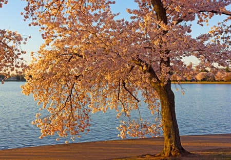 Mature cherry tree with flower near the water of Tidal Basin in Washington DC, USA. Spring landscape with blossoming cherry trees.