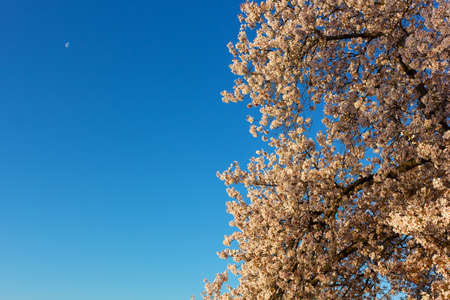 Vibrant display of blossoming cherry tree in the morning. Springtime cheery tree bloom around Tidal Basin in Washington DC, USA. Stock Photo