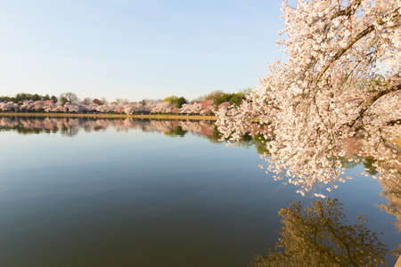 Cherry blossom in Washington DC. Beautiful Japanese cherry trees in full bloom around Tidal Basin in the spring. Stock Photo