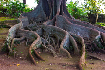 Whimsical tree roots. Large tree in the park of Sao Miguel Island, Azores, Portugal with a giant rhizome.
