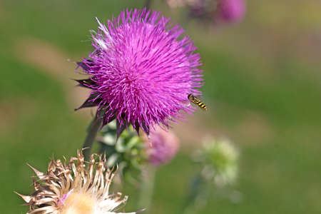 Flying bee attracted by a beautiful flower. Bee and blooming flower. Stock Photo