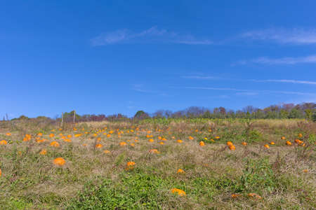 Pumpkin patch under blue skies. Agricultural landscape in late autumn.