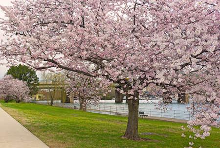 Mature cherry tree at full blossom near the water, Washington DC, USA. A beauty of cherry trees blossoming season.