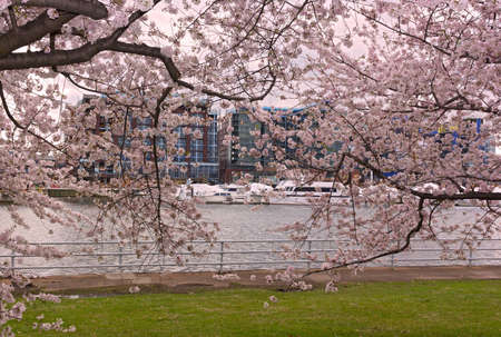 The Wharf of Washington DC behind a curtain of blossoming cherry trees. A scenic springtime landscape of East Potomac Park. Imagens