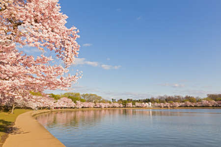 Blossoming cherry trees around Tidal Basin in Washington DC in spring during the National Cherry Blossom Festival. Washington DC has the large amount of Japanese cherry trees given by Japan as a gift in 1912
