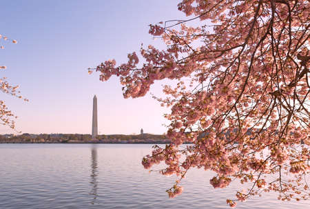 Blossoming cherry trees around Tidal Basin in Washington DC. Landscape in spring during the National Cherry Blossom Festival.
