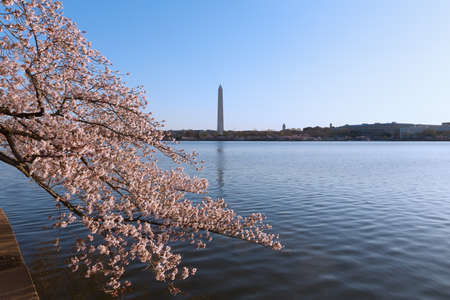 Blossoming cherry trees around Tidal Basin reservoir in Washington DC. Urban landscape in spring during the National Cherry Blossom Festival. Stockfoto