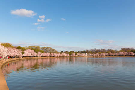 Blossoming cherry trees around Tidal Basin reservoir.  Panorama in spring during the National Cherry Blossom Festival in Washington DC, USA.