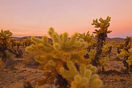Cholla Cactus Garden in Joshua Tree National Park at sunset, California, USA. Large plants with sharp thorns against colorful sky and mountains on horizon in desert landscape.