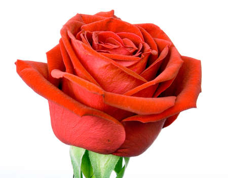 Gorgeous red Rose ISOLATED