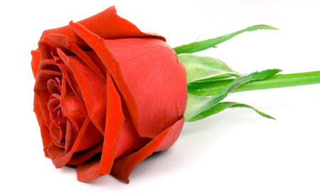e pretty: Gorgeous red Rose ISOLATED