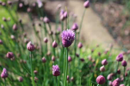 Purple chives blossoms in the spring garden