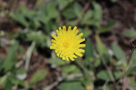 hawkweed: Flower of Hawkweed (Hieracium) close-up