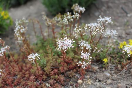 discolored: Saxifraga, rockfolis, blossoms