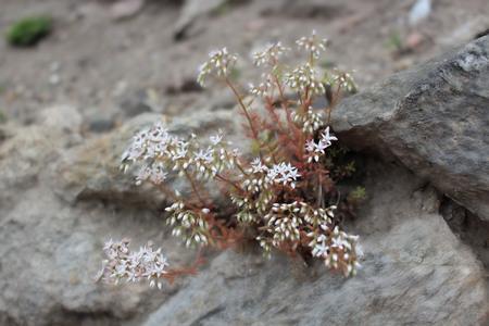 Saxifraga, rockfolis, blossoms