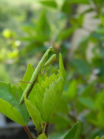 devouring: Green mantis in the nature, close