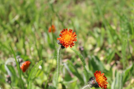 Flower of Hawkweed (Hieracium) close-up