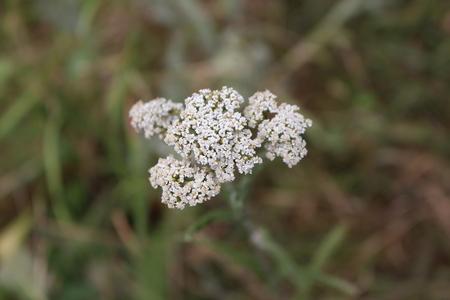 yarrow: Closeup of white flower achillea millefolium, commonly known as yarrow or common yarrow