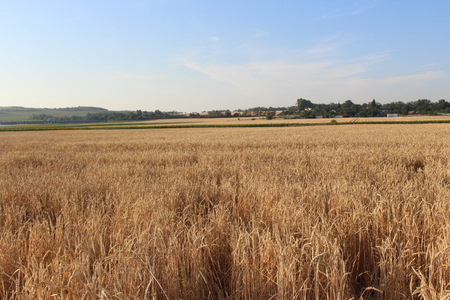 Harvesting wheat in late summer and beautiful weather Stock Photo