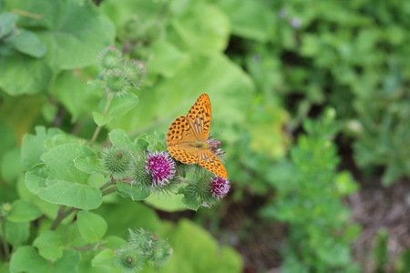 washed: Beautiful colorful butterfly Silver-washed Fritillary on blooming thistle in meadow.Summer day. Blurred background Foto de archivo