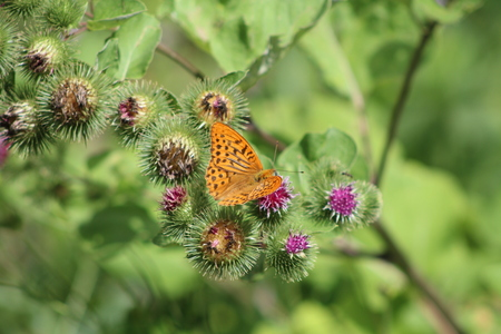 Beautiful colorful butterfly Silver-washed Fritillary on blooming thistle in meadow.Summer day. Blurred background Stock Photo