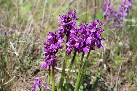 Wild orchids in the meadow .