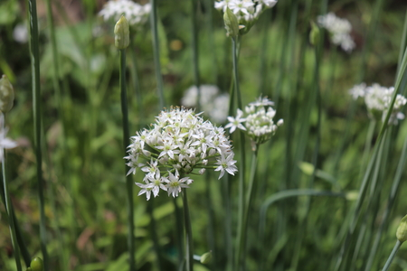Closeup of white flowers of the garlic chives Allium tuberosum . Medicinal plants, herbs in the organic garden . Blurred background.