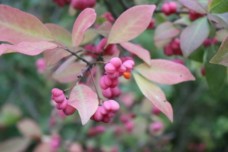 Euonymus europaeus (spindle, European spindle, common spindle) is a species of flowering plant in the family Celastraceae. Blurred background