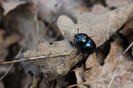 Closeup of an earth-boring dung beetle (Geotrupidae) on the forest floor Stock Photo