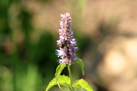 Bee gathering the pollen on Agastache rugosa in the sunny day.Agastache rugosa is a medicinal and ornamental plant. Commonly known as Korean Mint. Herbs in the garden.Blurred background.