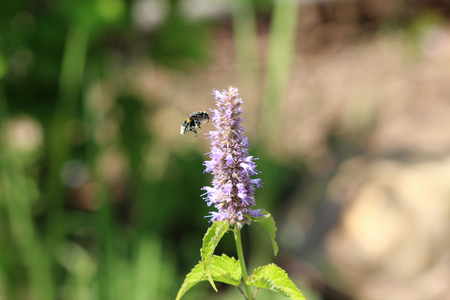 Bee gathering the pollen on Agastache rugosa in the sunny day.Agastache rugosa is a medicinal and ornamental plant. Commonly known as Korean Mint. Herbs in the garden,blurred background. Stock Photo