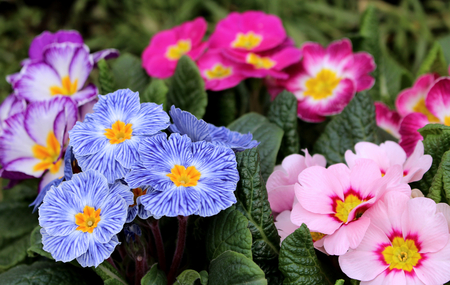 Closeup view colorful flower primrose ,primula vulgaris.Primula is an spring flower. View from above of floral pattern. Primula is a genus of herbaceous flowering plants . Blurred background. Stock Photo