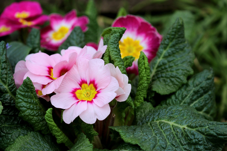 Closeup view colorful flower primrose ,primula vulgaris.Primula is an spring flower. View from above of floral pattern. Primula is a genus of herbaceous flowering plants . Blurred background. Banco de Imagens