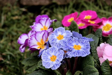 Closeup view colorful flower primrose ,primula vulgaris.Primula is an spring flower. View from above of floral pattern. Primula is a genus of herbaceous flowering plants,blurred background. Banco de Imagens