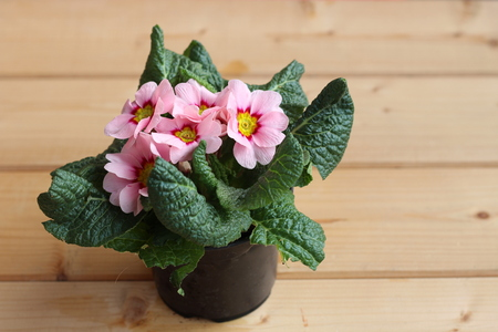 Flowers primrose, primula vulgarisin a pot isolated on wood background. They have a high variety of colors and can be used both as a balcony plant and bedding plant. Concept flowers.