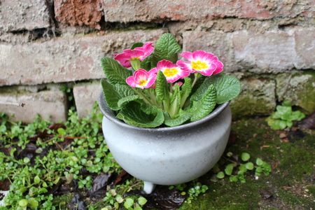 Primrose primula vulgaris is an early spring flower they have primrose primula vulgaris is an early spring flower they have a high variety mightylinksfo