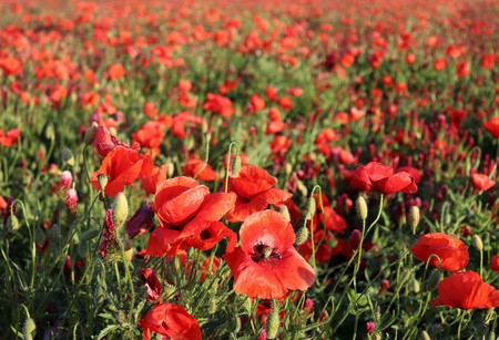Wonderful landscape, majestic view on the Italian cloveris and poppy blooming field on a summer day. The huge field of red flowers,view close-up, picturesque scene, breathtaking scenery, retro style. 스톡 콘텐츠