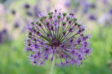 Beautiful purple flowers of allium aflatunense on a bright sunny day in the organic garden. Fresh kitchen herbs,food concept. Stock Photo