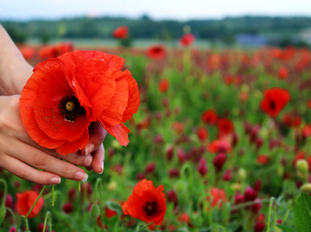 Poppy bouquet in girl hand. View from above. Spring flowers. Vacation and relaxation. Copy Space. The concept of the Remembrance days. Stock Photo