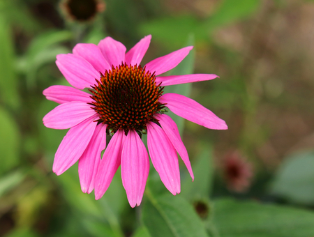 Echinacea purpurea pink coneflower flower in bloom in spring. Crop of herbs. Medicinal plants concept,foral background.