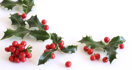 Christmas holly Ilex aquifolium isolated on white table background. Evergreen leaves with red berries. Empty space for holiday text. Decorative floral frame, web bannerlat lay, top view.