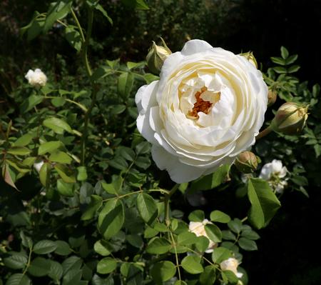 Gros plan White Rose Claire Austin dans le jardin biologique avec un concept flou de feuillage, de nature et de rose.