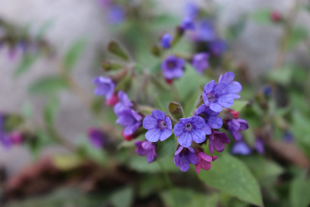 Flower of Pulmonaria officinalis is a genus of flowering plants in the family Boraginaceae, native to Europe and western Asia.Lungwort, common lungwort, Our Lady's milk drops in bloom, edible, healthy.
