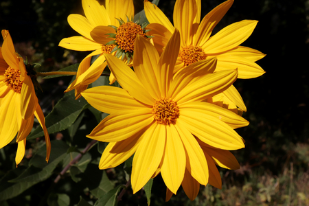 Growing yellow Helianthus Tuberosus Flower head against its natural foliage background, also known as: Jerusalem artichoke, sunchoke, earth apple and topinambour. Food source.