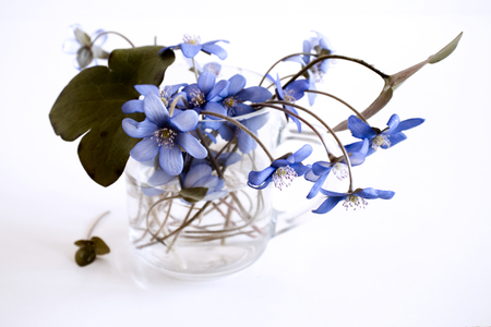 A beautiful spring bouquet, Liverwort, Hepatica nobilis flowers on a wooden white background .Edible ,healthy . Minimalism, beautiful spring wildflowers.