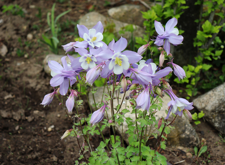 Aquilegia x hybrida Origami Columbine in the garden, known for the spurred petals of their flowers.