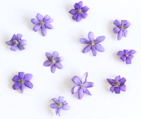 Liverwort ,Hepatica nobilis flowers bloosoms on a white background, top view, creative flat layout, the concept of summer, spring, holiday on March 8, mother's day. Frame with copy space. Stock Photo