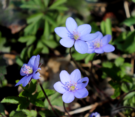 Liverwort ,Hepatica nobilis flowers on a forest floor on sunny afternoon. Spring blue flowers Hepatica nobilis in the forest, blue flowers of Hepatica nobilis close-up. Stock Photo