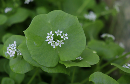 Miners Lettuce, Winter Purslane ,Claytonia perfoliata . You can use them in fresh vegetable salads. The Winter Purslane is that we have it fresh almost all year round.