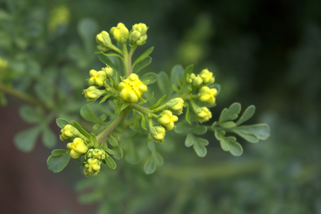 Ruta graveolens, commonly known as the, common rue or herb-of-grace, is a species of Ruta grown as an ornamental plant and herb. It is also cultivated as a medicinal herb, as a condiment.